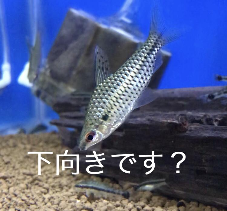 ◇『sakanaの日常』不思議な泳ぎ方をするキロダス。混泳させてみます?!