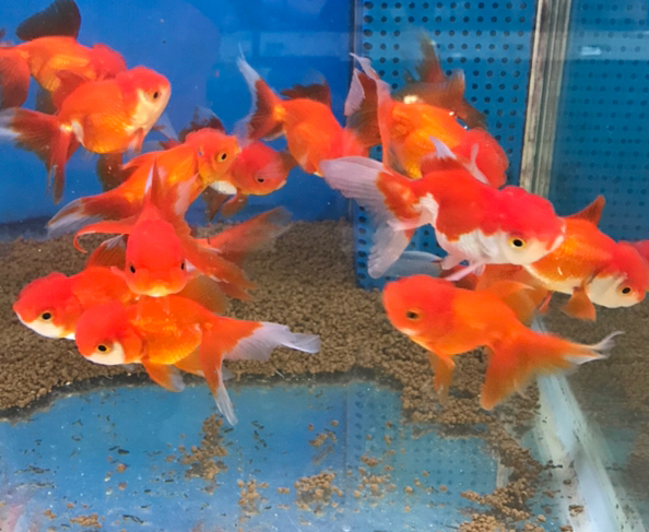 ◇『sakanaの日常』これがB級品?!すぐに治るヒレ欠け金魚です。