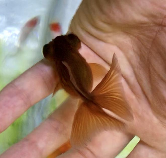 ◇『sakanaの日常』茶色い蝶尾もいいものだ。ゆっくり泳ぐ姿に癒される金魚です。