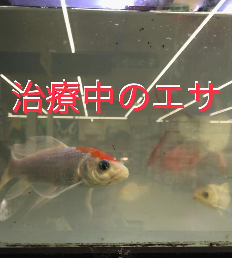 ◆【魚の病気治療】薬を入れた後、エサはみんなはどうしているの?控える理由とは。