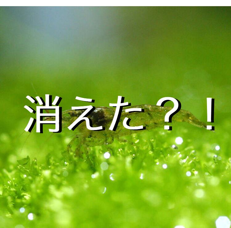 ◆ミナミヌマエビがいなくなる3つの理由。混泳と生態について知り原因を解決しよう。