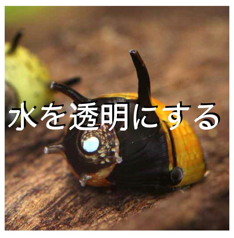 ◆水を透明にしてくれる『貝』とは。タニシ?石巻貝?二枚貝・・・残念ですが効果ない?!