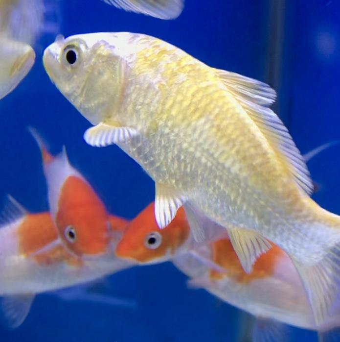 ◆【水槽で飼う錦鯉】『金色』を持つコイたち。混泳に1匹は入れても良い?!