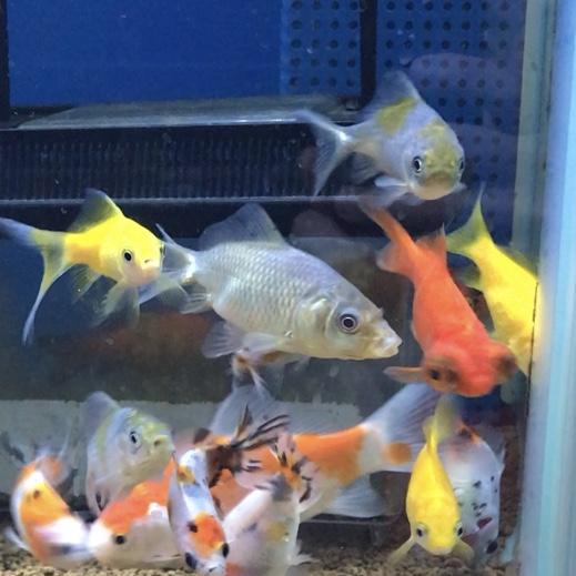 ◆金魚を飼ってみたら、気をつけたいレイアウトの作り方。知っておきたい4項目