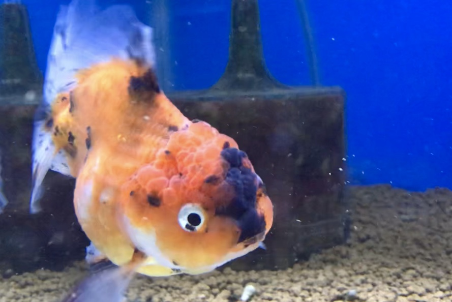 ◇『sakanaの日常』中国産!獅子頭琉金・赤透明鱗とは。ネット場通販でも、高級金魚は人気が高い。