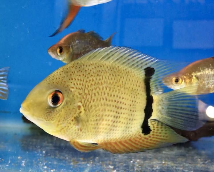◆中型魚の混泳水槽の1例。上手に飼育できる組み合わせ。【ヘロス グリーンレッドスポット 、ゲオファーガス レッドヘッド 、レッドフック メチニス 、コームスケール レインボー 、ブラックテトラ】