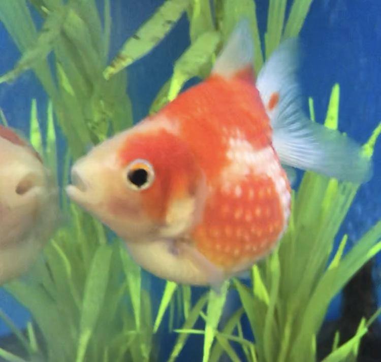 ◆ピンポンパール(金魚)と熱帯魚の混泳水槽させるには。