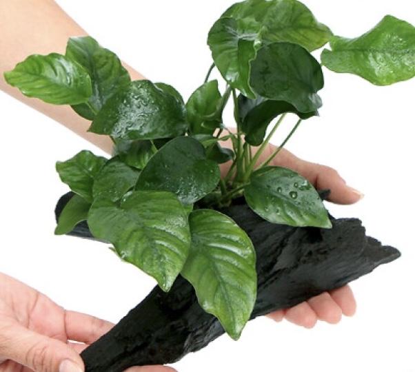 ◆簡単なはずなのに枯れてしまう『アヌビアス ・ナナ付き流木』の原因と育て方とは。ハサミがあればトリミングにチャレンジする!