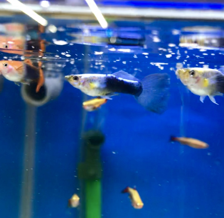 はじめてでも安心!グッピーを飼ってみたら、混泳は自由に!ほんの一例をご紹介します。コリドラスやアカヒレなど良し!
