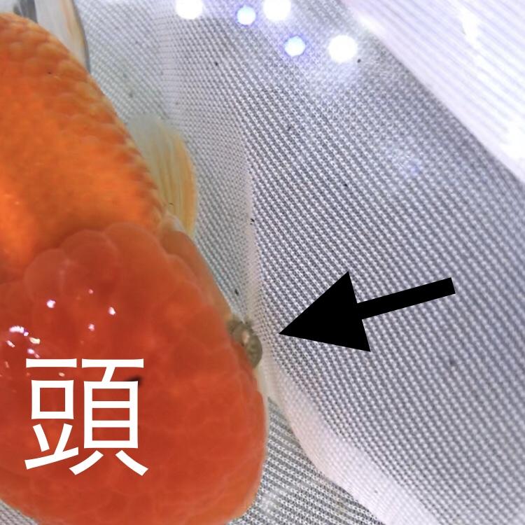 ◇『sakanaの日常』良い時もあれば悪い時もある。中国産オランダ獅子頭がいらないお土産つけてきた。