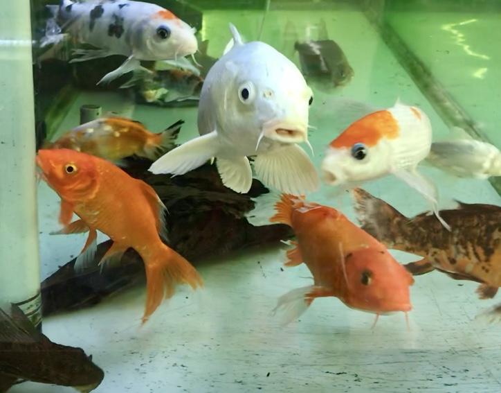 【2m水槽で錦鯉と熱帯魚混泳】成長が止まったプラチナと、新入りは10cmほどの隼人錦