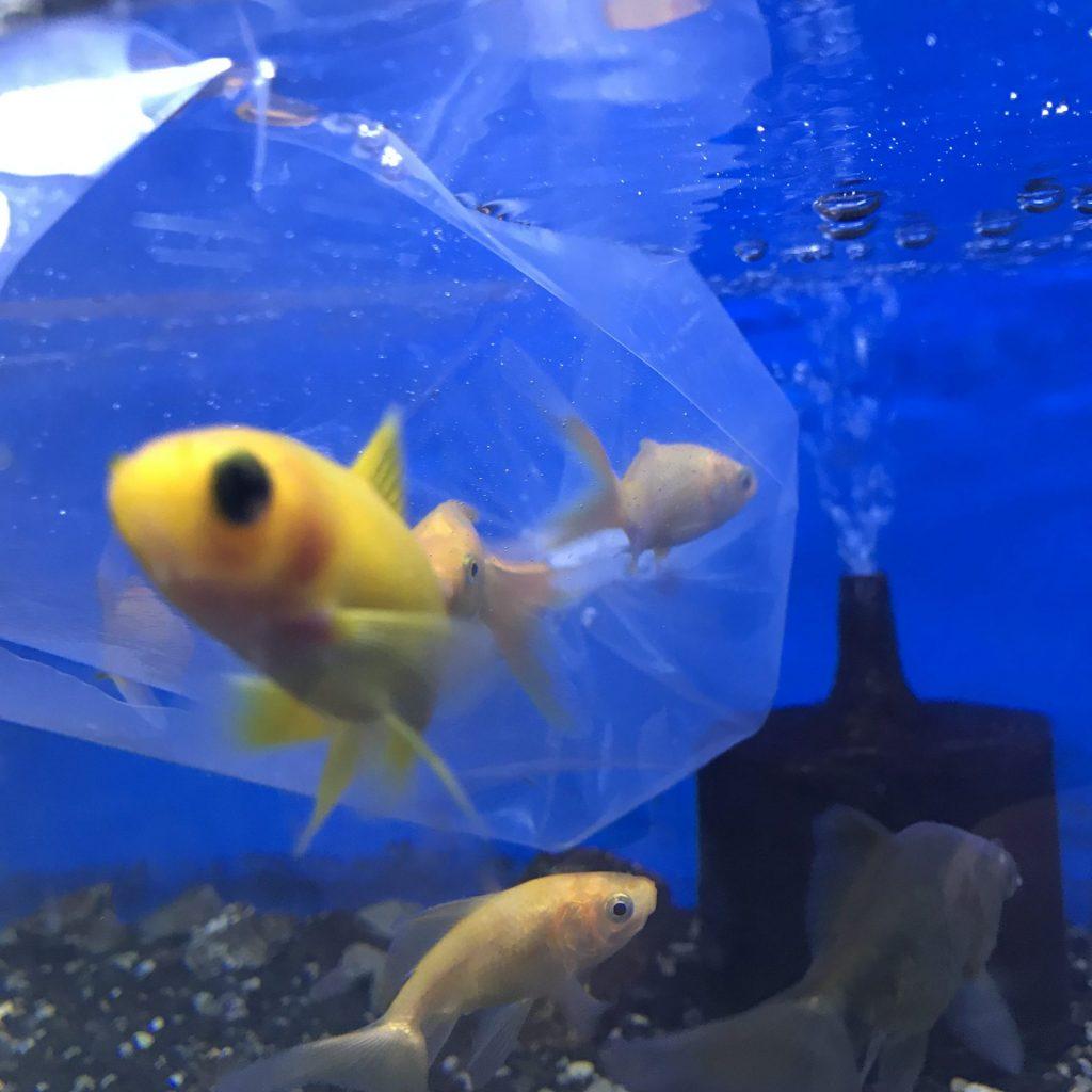 ◆通販で金魚を購入した時に、気をつけたい3つのこと。お店選び方とは。