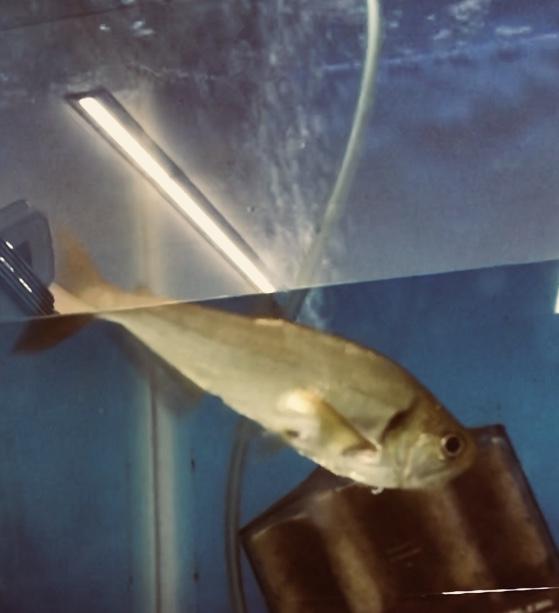 ◆レッドフィンペーシュカショーロが慣れるまで1ヶ月掛かりました。エサを食べない熱帯魚に出来ること。