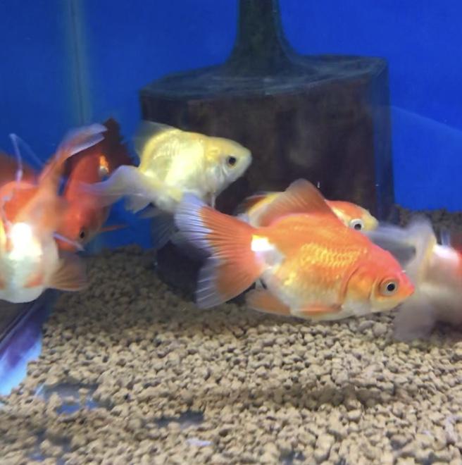 ◆9月~11月の季節の変わり目に気をつけたい、金魚の病気・異変トップ3とは。