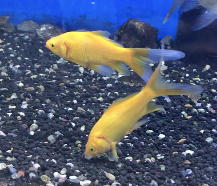 ◇『sakanaの日常』フナ体型の金魚混泳。久しぶりレモンコメットとアルビノと鉄魚。