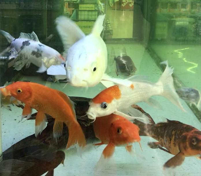 ◆水槽で飼育する『錦鯉』を健康に管理する方法。よくあるトラブル対策とは。