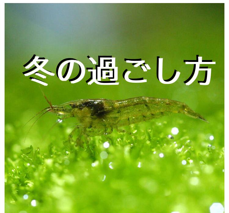 ◆屋外でのミナミヌマエビの冬越し方法で困っているとは。餌は?エアレーションは必要か?