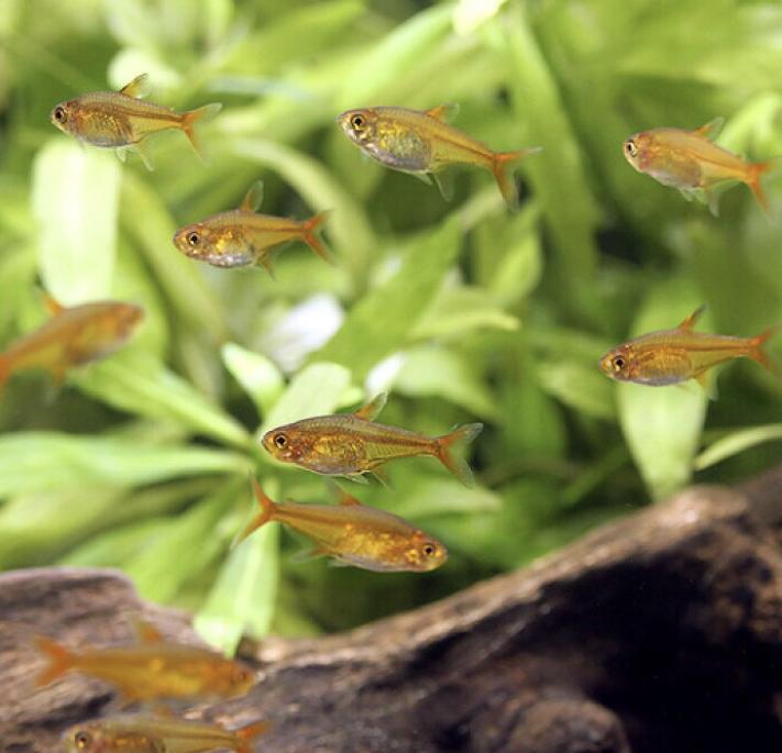 ◆レッドテトラにお勧めの熱帯魚リスト。混泳を上手に行う組み合わせ!