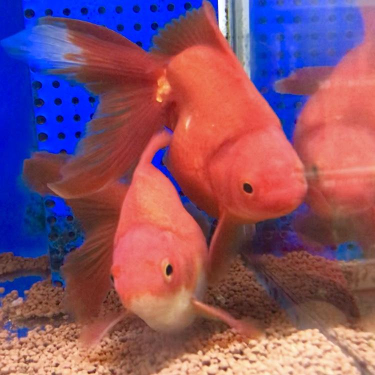 ◆いきなり金魚の仲が悪くなる理由とは。しつこい追尾のケンカも繁殖モードが原因??産卵狙っていないけど・・・