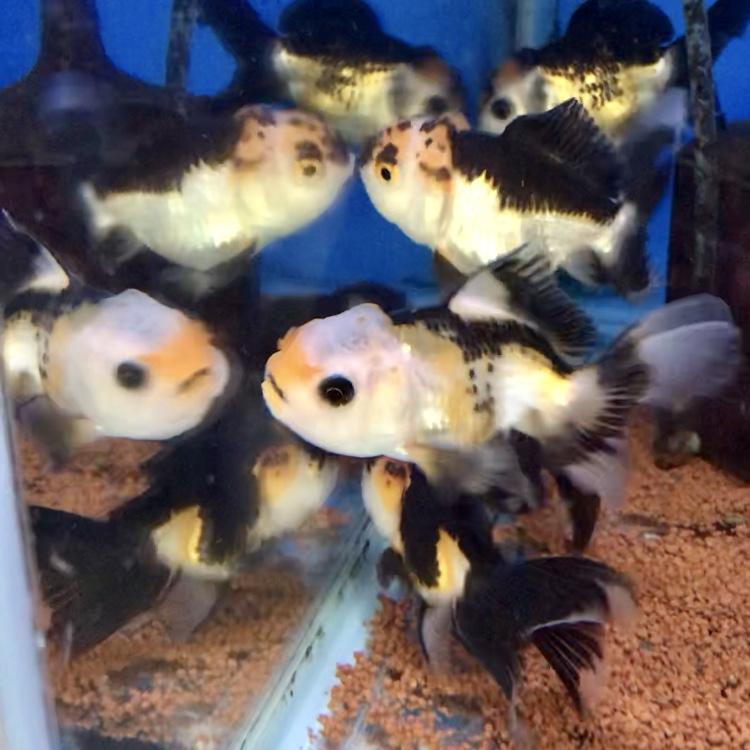 ◆羽衣(ハゴロモ)&トリカラーオランダを健康に飼育管理する状態を整える3つのコツとは。飼い方を上手く取り入れて混泳も目指そう!!