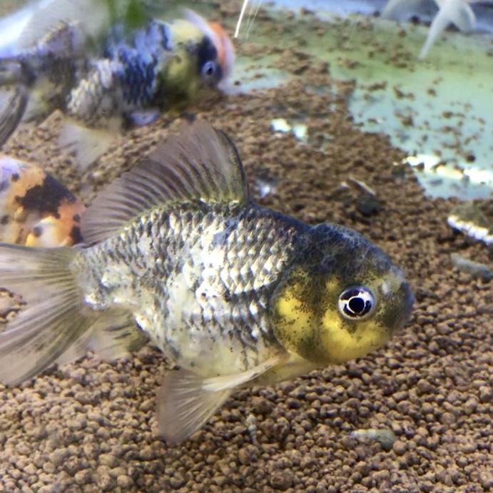 ◆【金魚の飼い方】オランダSTことショートテールを健康に飼育管理する方法と混泳について。