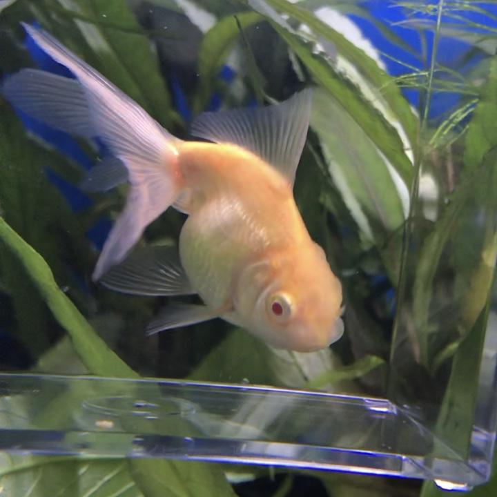 ◇『sakanの日常』アルビノ金魚たち