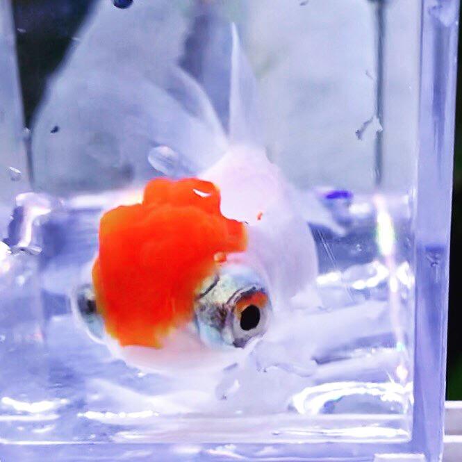 ◆紅白金魚の名前ルール。『更紗』『桜』『丹頂』にコメットさん。意外と品種は多かった!!