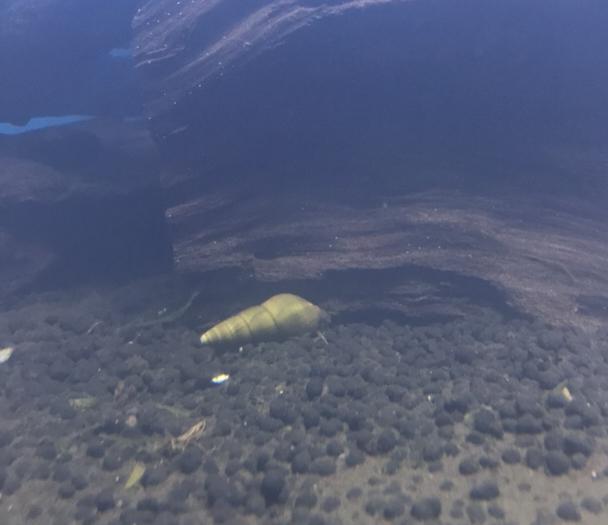 ◆トランペットスネールっぽい?カワニナみたいな貝対策。駆除や予防する方法とは。