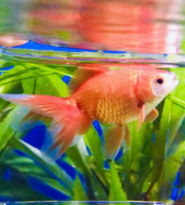 ◇『sakanの日常』金魚だってクリスマスカラー(笑)紅東海錦