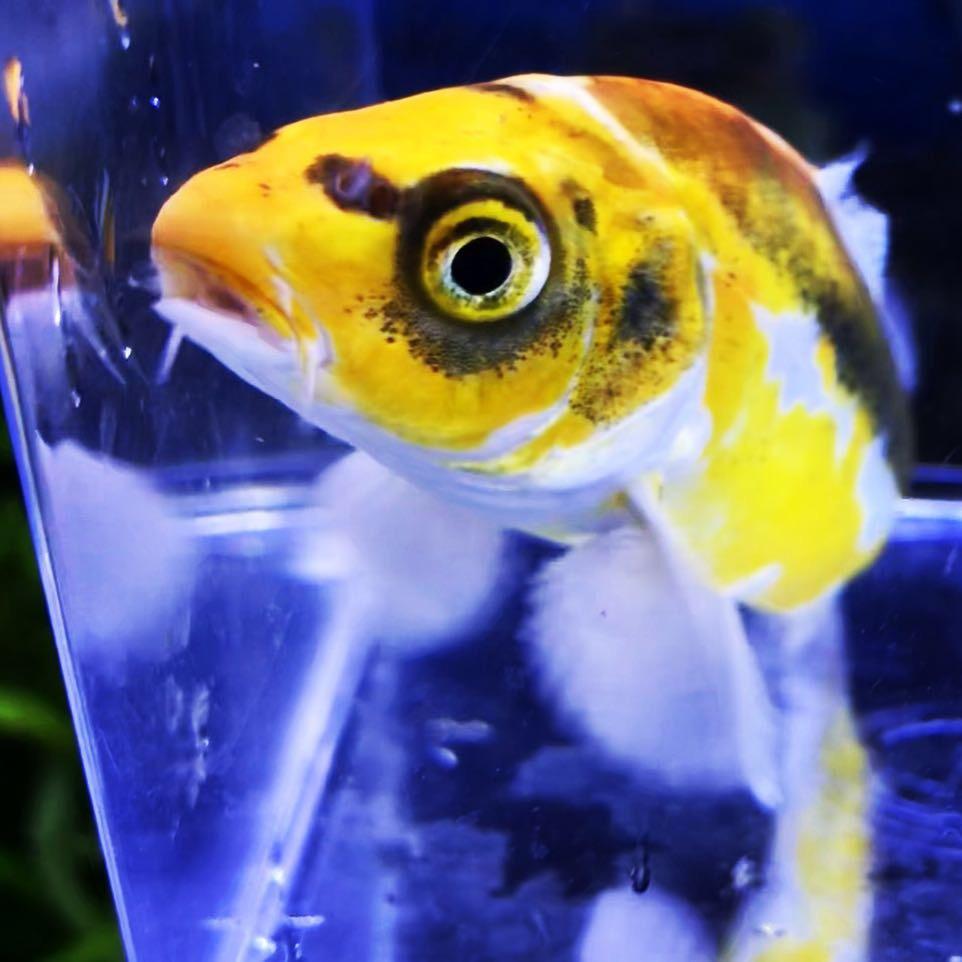 ◆水槽で飼育する錦鯉たち。『浅黄(あさぎ)』の魅力とは。原種に近く強さがあり、バリエーションも存在。