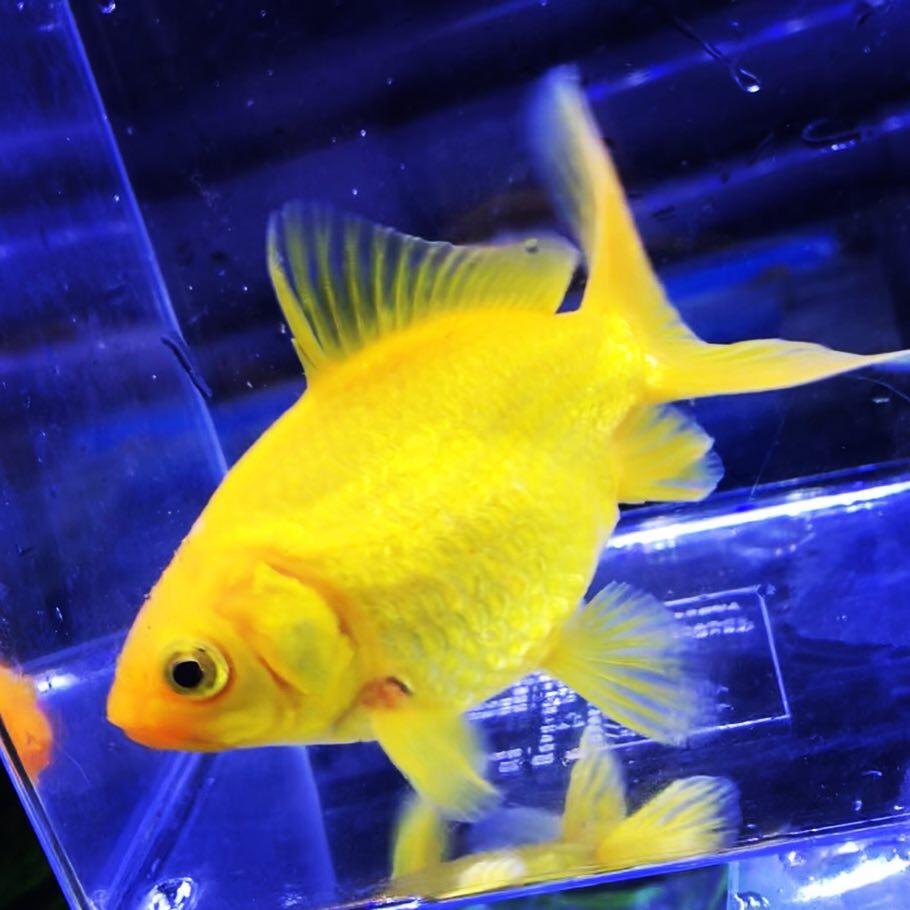 ◇『sakanaの日常』金魚が横たわる?元気がない?
