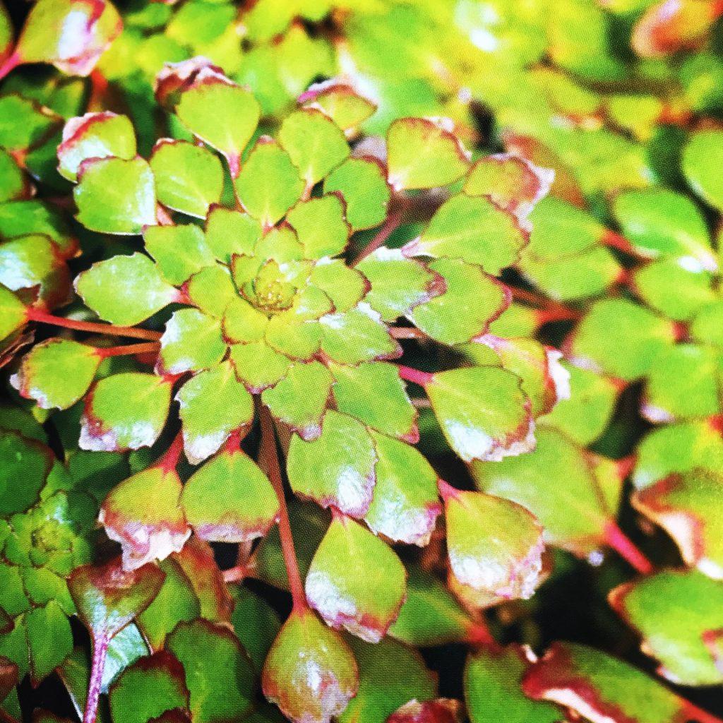 ◆ビオトープやスイレン鉢に使える浮き草の種類。メダカや金魚に使える水草とは。ルドウィジア・セディオイデス、アマゾンフロッグピット、ストラティオテス・アロイデス、ホテイアオイ 斑入りとは。