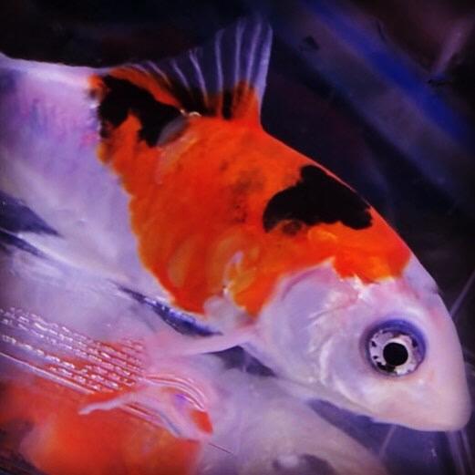 ◆水槽で飼育する錦鯉たち。『秋翠』(しゅうすい)の魅力とは。選ぶポイントと性格の特徴を知る。