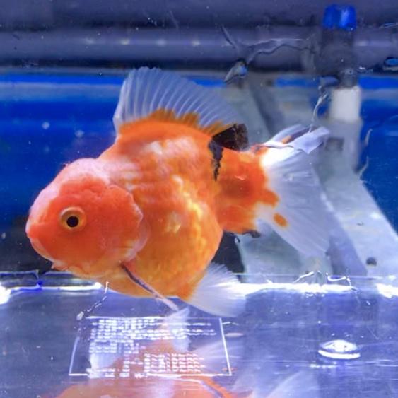 ◆水換えした時にバクテリア液は必要なのか?カルキ抜きとの間違い!金魚や熱帯魚の飼育の疑問とは。