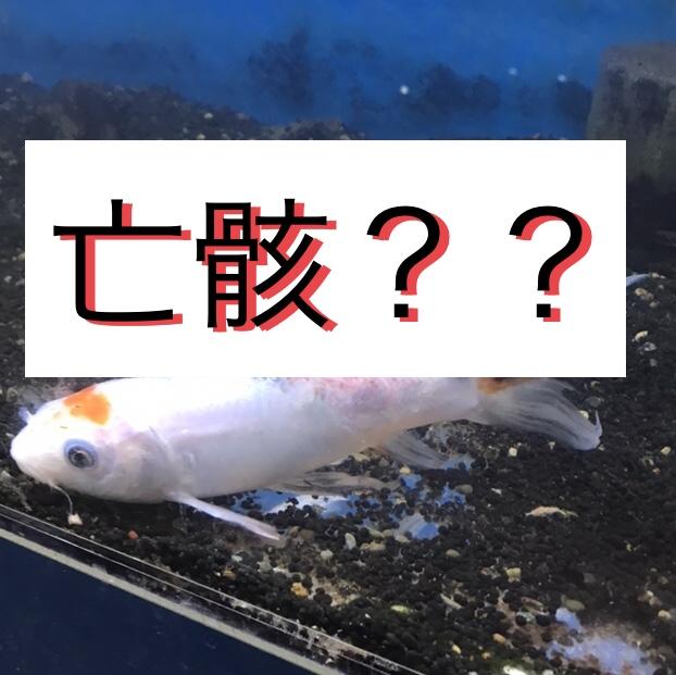 ◆お魚の亡骸は、他のお魚が食べて問題はないのか?エビや貝に食べさせて良いのか?!素朴な疑問。