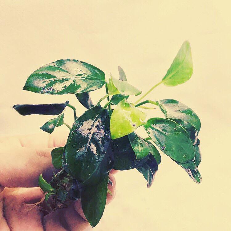 ◆ビンで飼育するベタにピッタリな水草とは?アマゾンフロッグピットをオススメしない訳とは。アヌビアスやフェイク水草など。