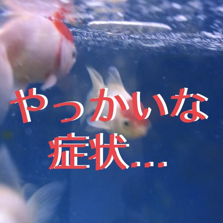 ◆6/28 飯田丹頂が病気になってしまいました。不調の症状と治療方法とは。