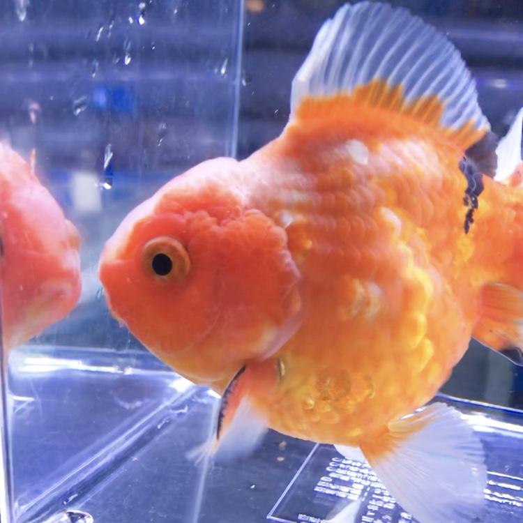 ◆金魚を飼育では水量は多い方が魚は死にづらい?!その2つの理由とは?!