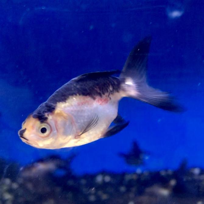 ◆金魚に1%の塩分濃度は致死量に…塩は何パーセントまで入れられる?