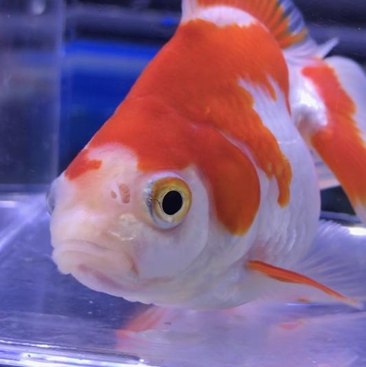 ◆最近の金魚事情・・・気になる品種をご紹介。岡部産や柳出目金イエロー&ホワイト