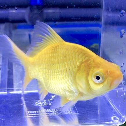 ◆金魚を飼い始めたら揃えると良い道具ベスト5とは!必要で便利だから飼いやすくなります。