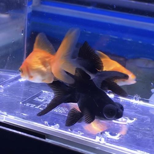◆ざっくりと!金魚飼育を始める時の選び方。金魚すくいのきんぎょ、飼いやすい、育てやすい種類とは。