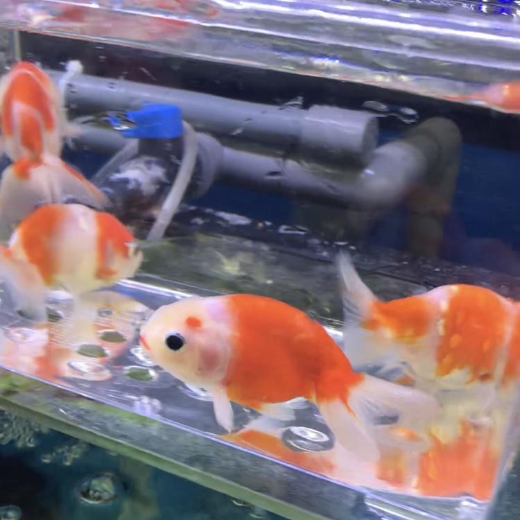 ◆金魚飼育の水槽セットの選び方。