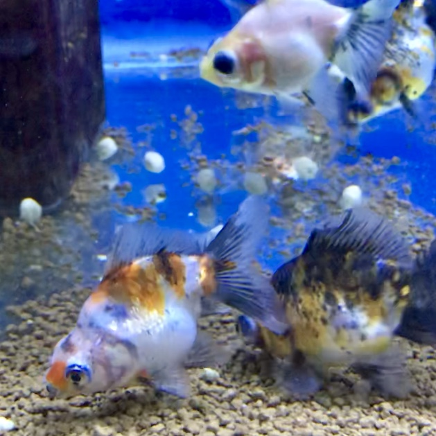 ◆人気の志村養魚場の、2品種入荷!キャリコ琉金と蝶尾の魅力とは。