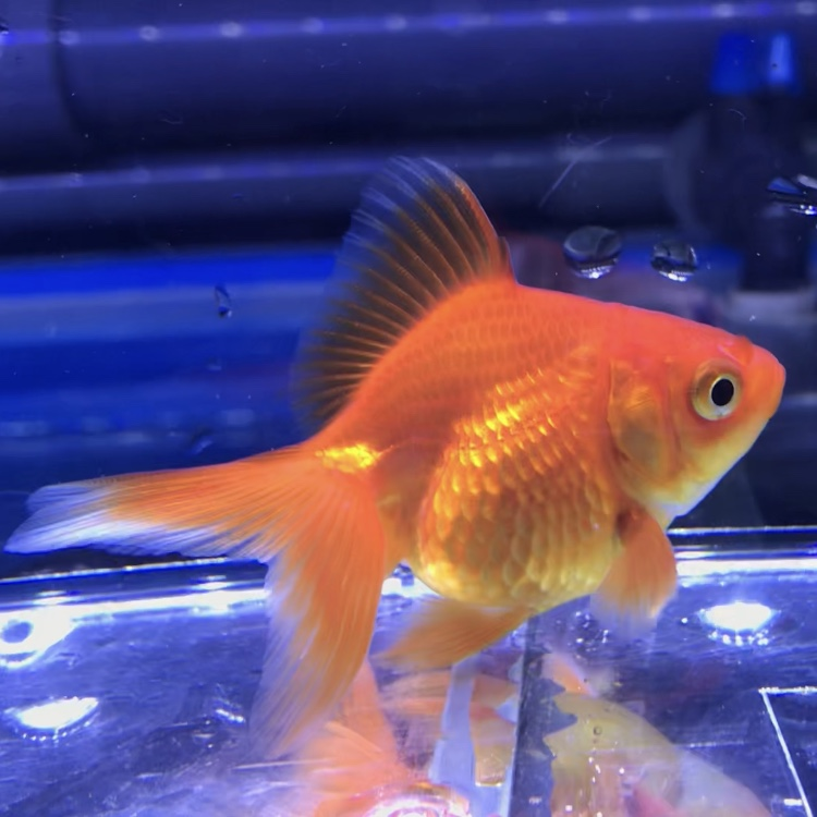 ◆金魚を知るための金魚とは?!調子を見分けるのにひと工夫しています。