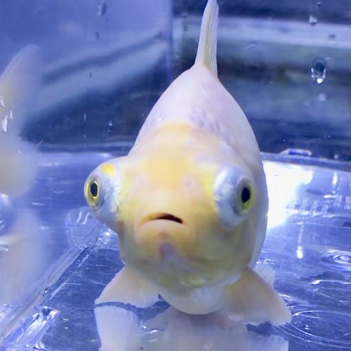 ◆金魚すくいの金魚がすぐ死んでしまうのは、弱っているからだけではない?