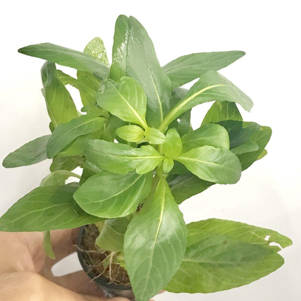 ◆ざっくり水草の選び方。はじめてで選ぶべき5品種紹介。育てやすくキレイで安価!!