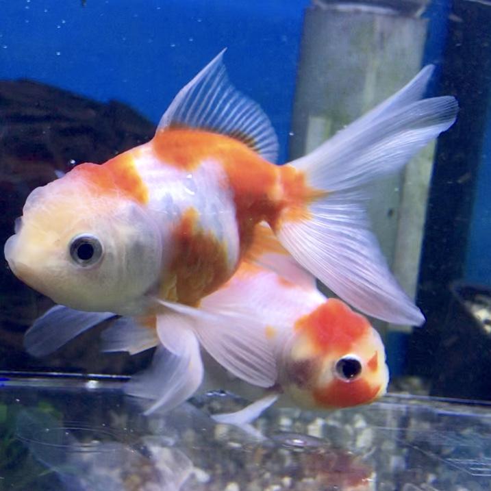◆桜づくしの魚たち。桜黄金、桜錦、桜東錦、桜コメット、桜和金。
