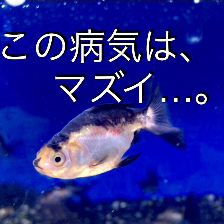 ◆日本オランダの治療後半。金魚の赤斑病の治療の結果。