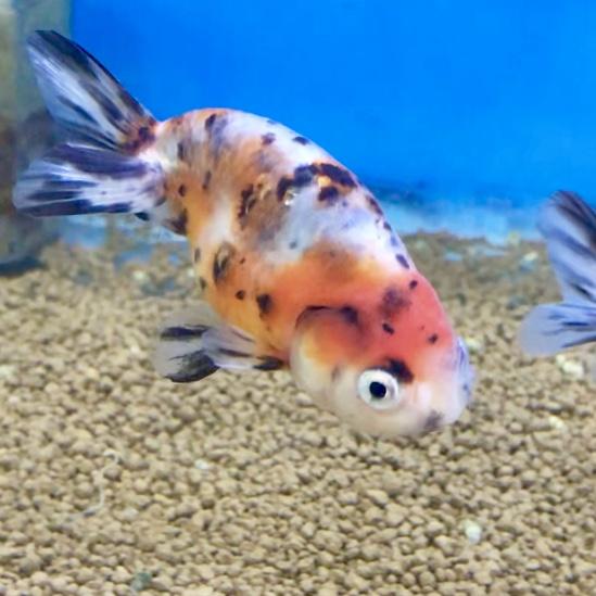 ◆志村養魚場産!!江戸錦(えどにしき)がやってきた。人気の秘密&魅力とは。